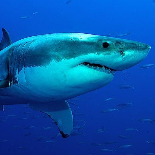 Tiburón Blanco | Viajes Planeta Azul